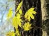 Ahornblätter können echt bezaubernd sein! +++ кленовые листья умеют выглядеть восхитительно!