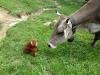Großer Dinkelmann lernt eine Kuh aus nächster Nähe kennen