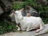 Heini hat eine Ziege gezähmt und ruht sich auf dem Ziegenfell aus