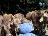 Kleiner Dinkelmann begegnet ganz vielen Kühen auf einmal.