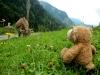 Eine freilaufende Kuh nähert sich dem kleinen Bären