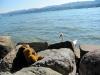 Die Schwäne im Züricher See sind echt neugierig