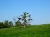 Ein einsamer Baum mit ganz vielen Misteln - perfekter Platz zum Küssen