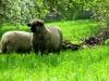 Schafe sind wirklich gefährliche Tiere, deshalb müssen sie auch angekettet werden