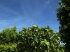 Die Zitronenbäumchen haben die Orangerie verlassen und können nun ihre Früchte in der Sonne reifen lassen.
