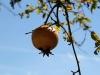 Auch Granatäpfel nutzen das sonnige Wetter.