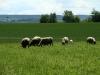 Etwas abseits der Pfade entdecken wir eine Schafherde.