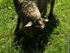 Das große Schaf lässt sich beim Mampfen gar nicht stören.
