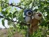 Dinki und ich kletterten bei unseren Erobärungsausflügen auch auf einen Pfirsichbaum. Es gab zwar schon viele Pfirsiche drauf, abär wenn sie noch in dieser bärentauglichen Größe sind, schmecken sie bäh!
